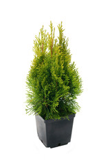 Beautiful thuja ( Thuja occ. Janed Gold ) on white background