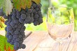 Blaue Trauben und Glas vor herbstlichem Hintergrund