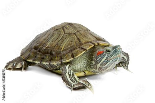 Poster Schildpad green turtle