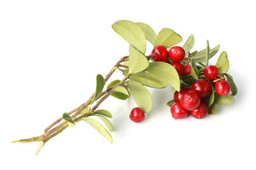 Ripe cowberry on branch with green leaves