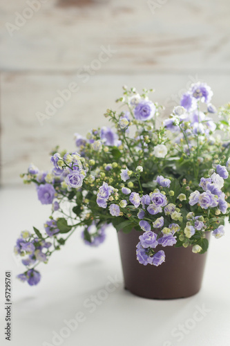 Small purple flowers (Gypsophila) in flower pot