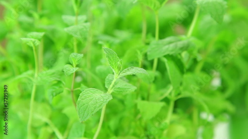 Mint leaves, fresh mint plant background