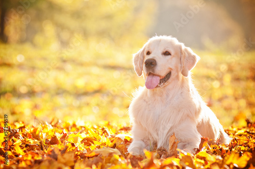golden retriever autumn portrait