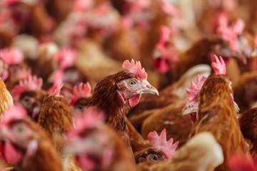 Curious brown hen on an organic chicken farm