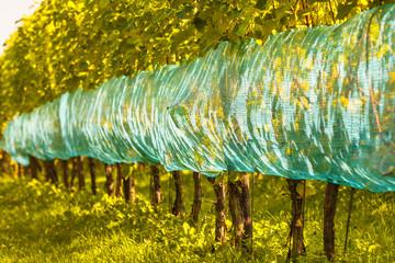 Organic vineyard in The Netherlands