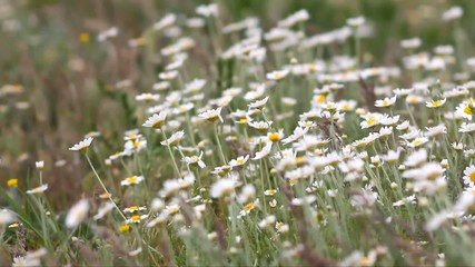 Wild camomiles moving on wind
