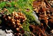 Funghi su faggio