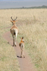 adult and baby antelope walking in the grasslands