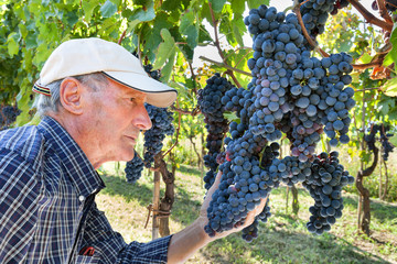 Wine maker checking grapes