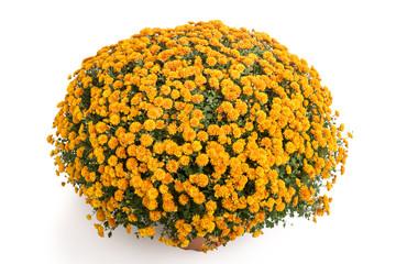 Große bronzefarbene Chrysantheme