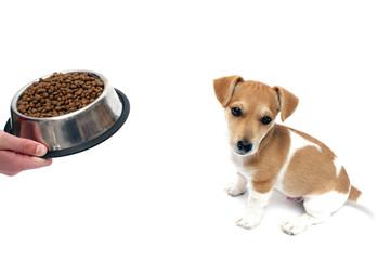 Jack Russell Terrier Welpe & sein Fressnapf