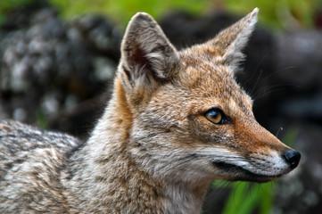Argentinischer Kampfuchs, Patagonian Grey Fox