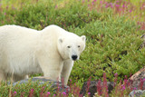 Polar Bear in the Fireweed B