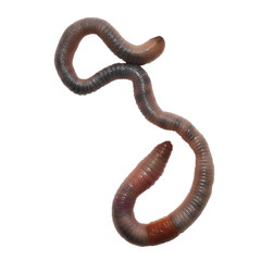 earthworm, earth worm  isolated on white background