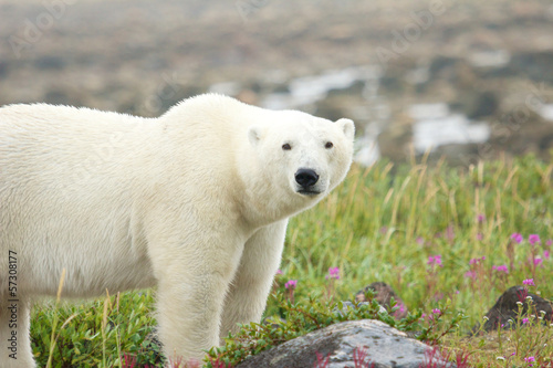 Polar Bear on the meadow