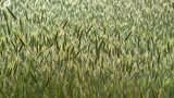 Crop of green wheat swaying in the wind