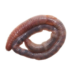 wet earthworm, earth worm  isolated on white background
