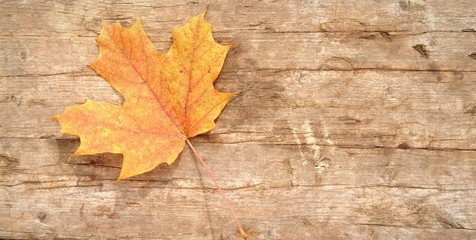 Orange maple leaf