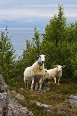 Schafe in der Felsenlandschaft Norwegens 2