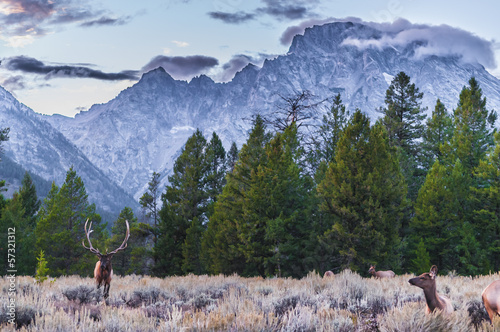 Foto op Aluminium Hert Adult Male Elk and his herd - Grand Tetons