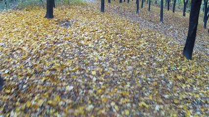 Bright  autumn  forest. Autumn. Stabilized  clip