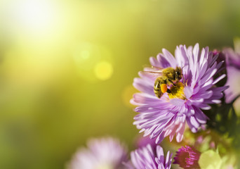 Bee gathering nectar from a flower with sunbeam