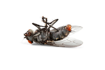 Dead house fly on white