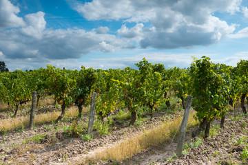 Vineyard - Loire Valley , France