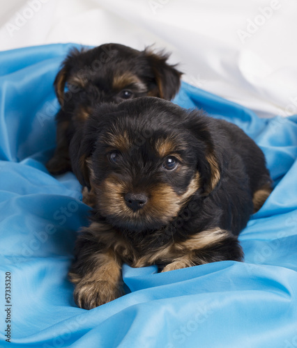 two puppies Yorkshire terrier in studio close-up