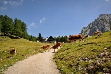 kühe überqueren die strasse