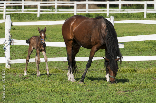 Mare and foal on a summer pasture