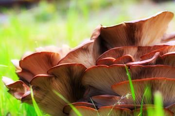 mushroom Pleurotus in the wood as healthy meal