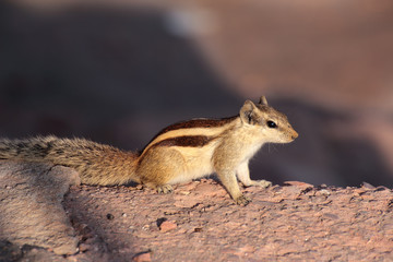 chipmunk on stone