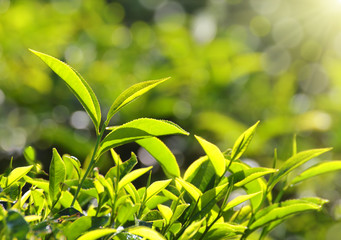 tea plants in sunbeams