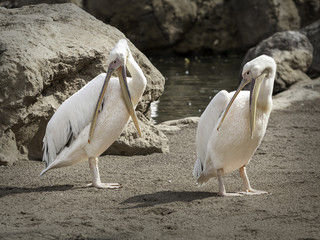 pelicans in the wild