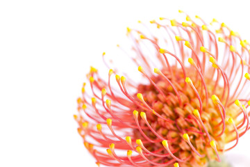 Exotic vivid flower of Leucospermum