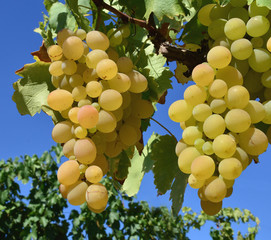 white grapes 5
