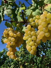 white grapes 6