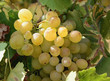 white grapes 14