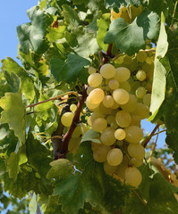 white grapes 15