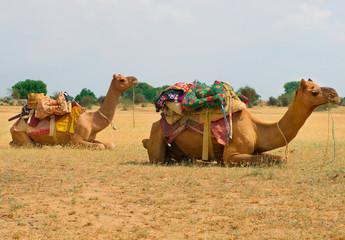 A camels in Desert,Jaisalmer, India
