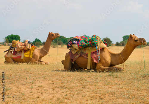 Foto op Canvas Dragen A camels in Desert,Jaisalmer, India