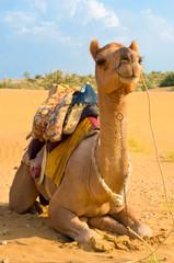 A camel in Desert,Jaisalmer, India
