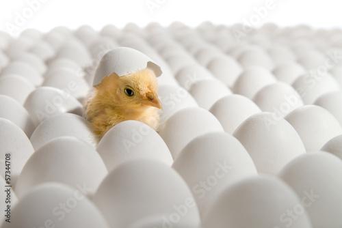 Foto op Canvas Kip chicken nestling