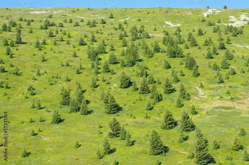 macedonian pine in the Pelister National Park, Republic of Macedonia