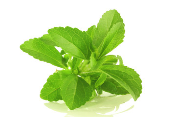stevia herb closeup in white background