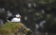 Puffin on a cliff. Iceland. Latrabjarg Peninsula.