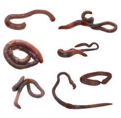 set earthworm isolated on white, ( common Asian earthworm )