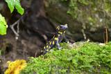 Fototapety Salamander