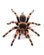 Leinwanddruck Bild - Tarantula spider, female (Brachypelma smithi)